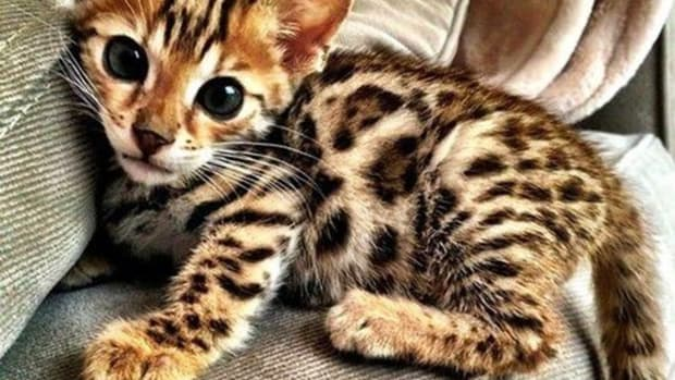 the-legendary-bengal-cats