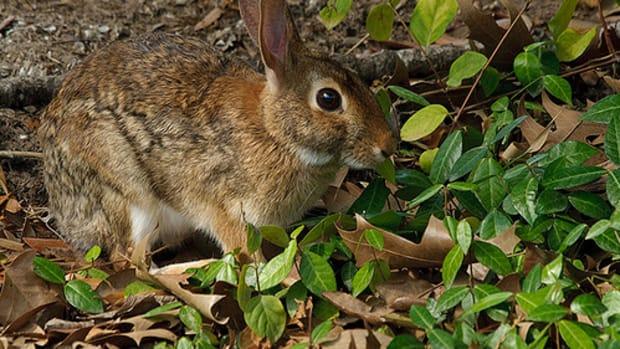 wildlife-in-the-backyard-rabbits