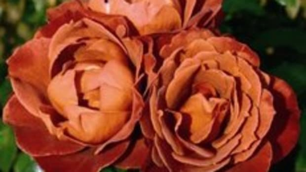 brown-roses-meaning