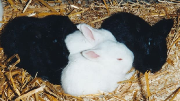 long-haired-rabbit-care