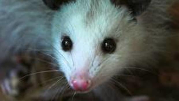 a-possum-is-not-a-throw-away-animal