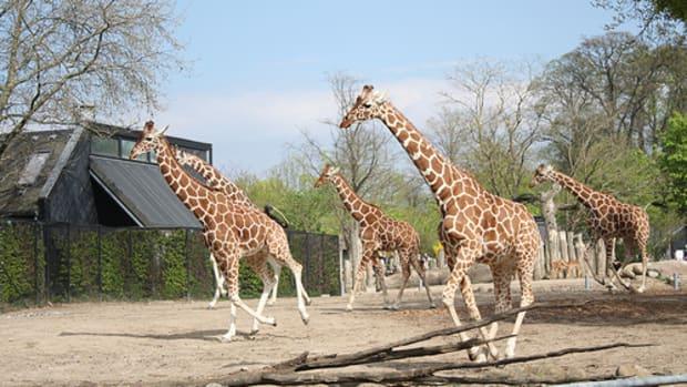 marius-giraffe