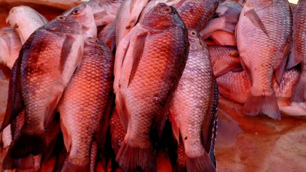 how-to-farm-tilapia-fish-in-your-home-backyard