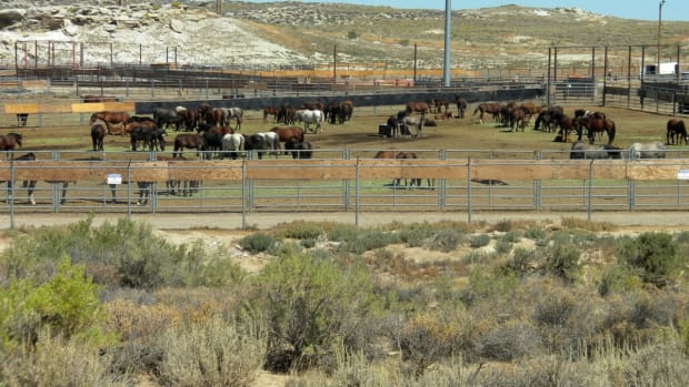 american-wild-horses-and-burros-still-in-peril