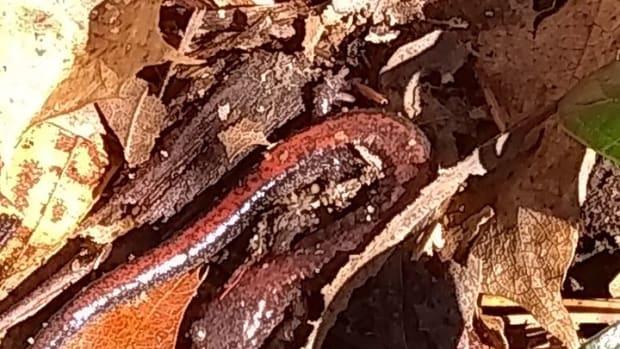 salamanders-amphibians-caudata