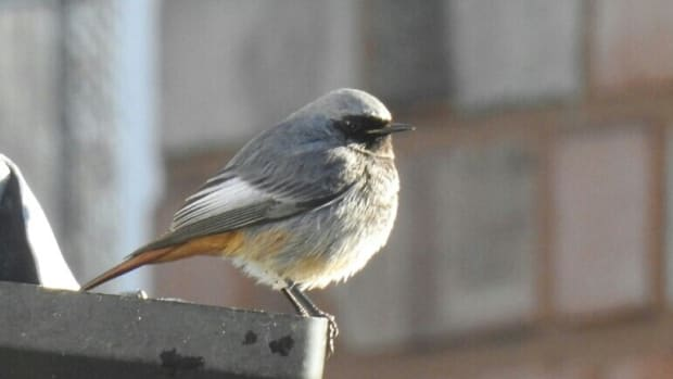 birding-trip-report-black-redstart-at-stirchley-west-midlands-wednesday-30th-january