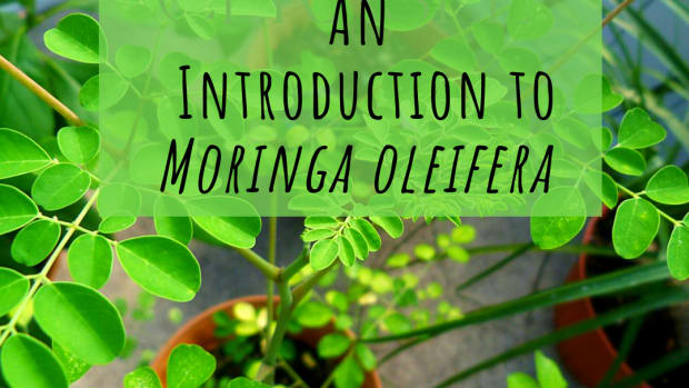 moringa-tree-of-life-or-scam