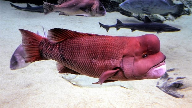the-kobudai-and-the-california-sheephead-fish-that-change-gender