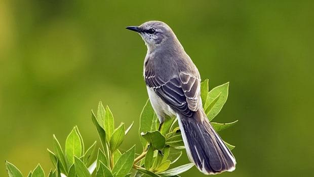 mercy-the-mockingbird