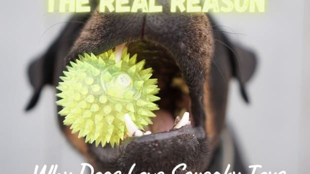the-real-reason-dogs-go-crazy-for-squeaky-toys
