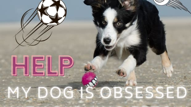 help-my-dog-is-obsessed-with-playing-fetch-ball-obsessions-in-dogs