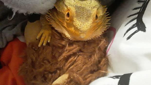 5-things-you-should-know-about-brumation-in-bearded-dragons
