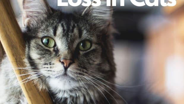 feline-hyperthyroidism-faqs-why-is-my-cat-losing-weight