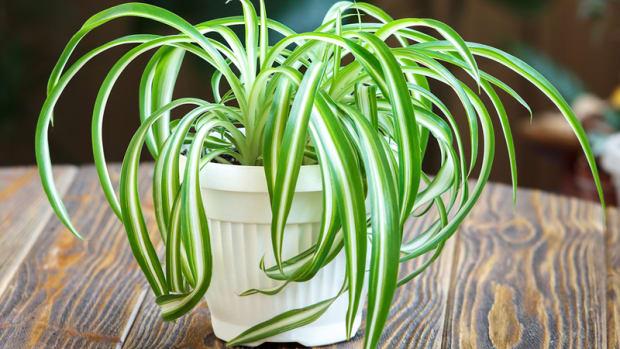 how-to-grow-a-spider-plant-chlorophytum-comosum