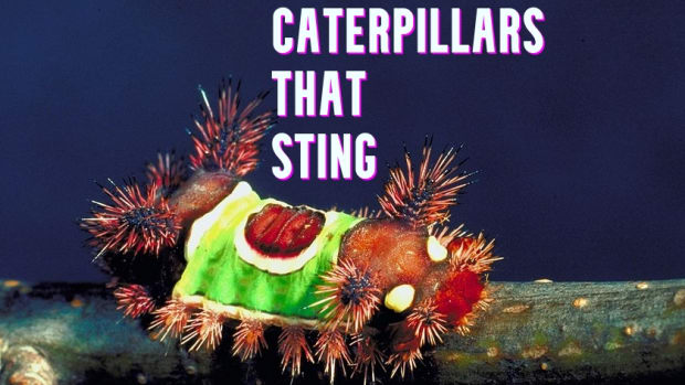 stinging-caterpillar-identification