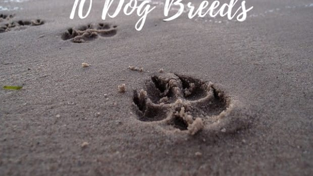 dog-breeds-with-webbed-feet