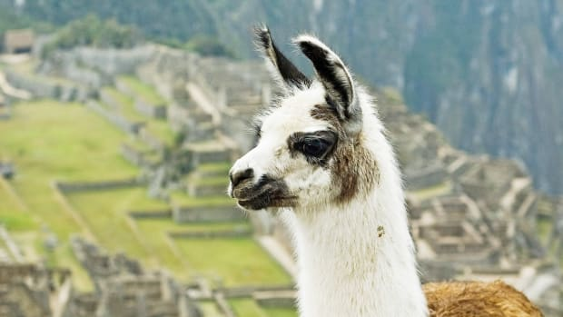 llama-antibodies-potential-help-for-a-coronavirus-infection