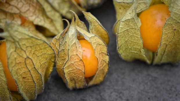 the-thing-about-cape-gooseberries