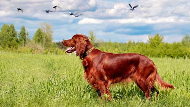 15-best-hunting-dog-breeds