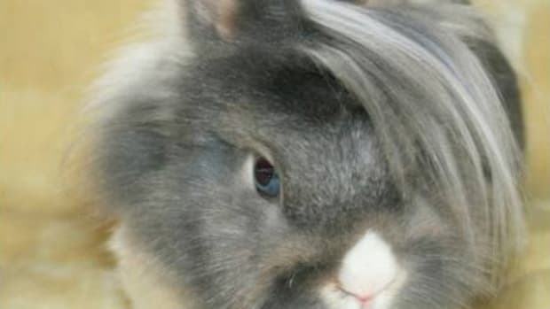 how-to-treat-fleas-on-rabbits