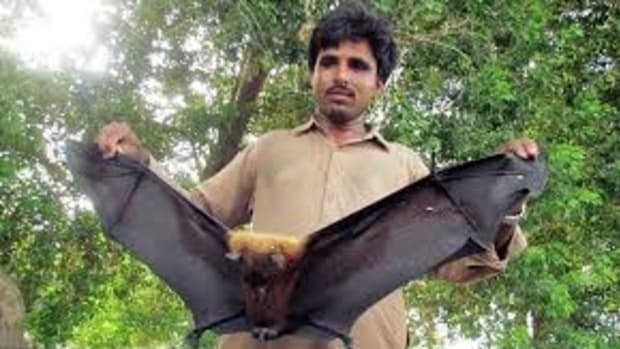 nipah-virus-the-next-global-pandemic