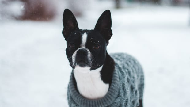 the-pros-and-cons-of-owning-a-boston-terrier