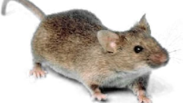 how-to-get-rid-of-mice-in-the-house