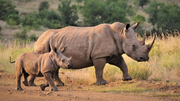 protection-of-rhinoceroses