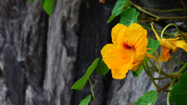 the-various-health-benefits-and-uses-of-nasturtiums