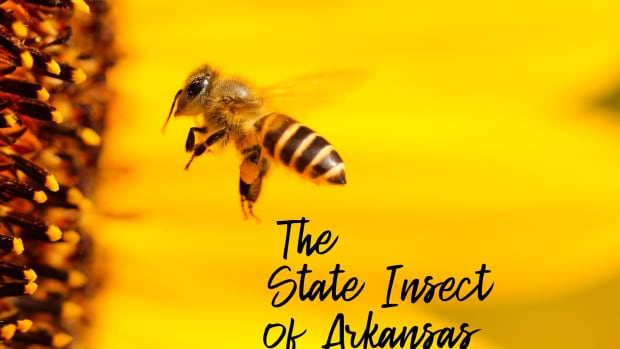 state-insect-of-arkansas