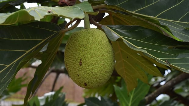 breadfruit-and-breadnut-nutritional-facts