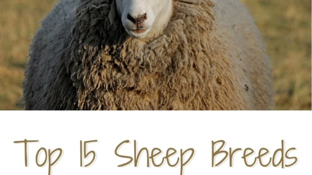 15-sheep-breeds-for-wool