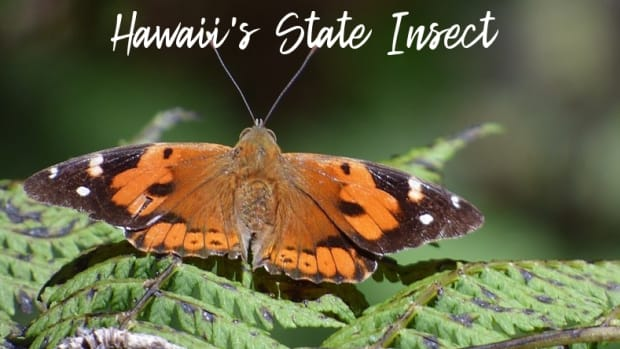 state-insect-of-hawaii