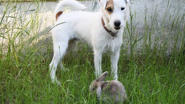 how-to-introduce-your-rabbit-to-your-dog