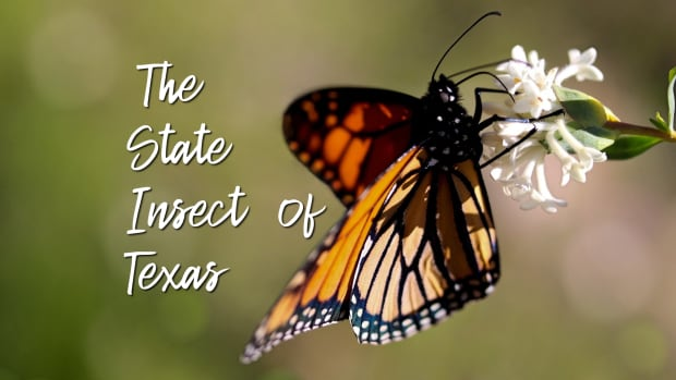 state-insect-of-texas