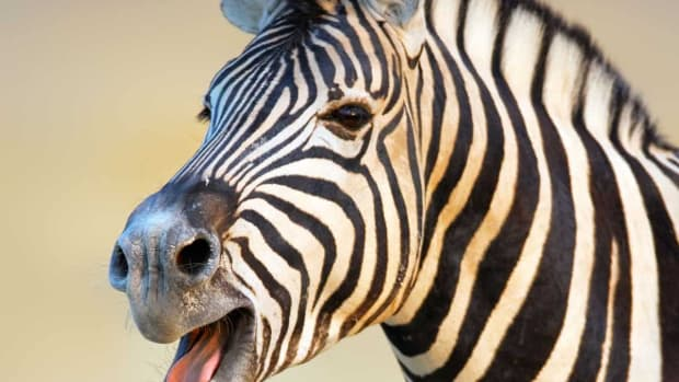 zebra-is-there-a-threat-to-a-unique-icon-striped-design