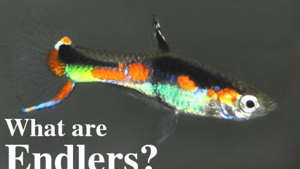 what-are-endlers