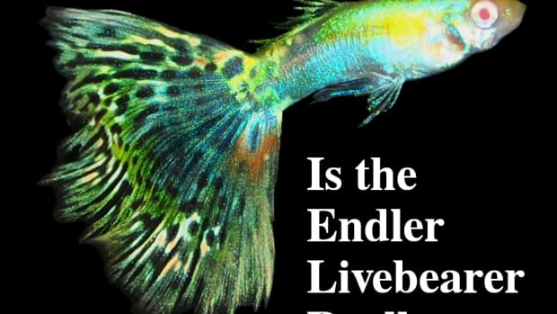 is-the-endlers-livebearer-really-a-guppy