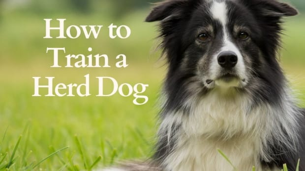 tips-for-training-a-herd-dog