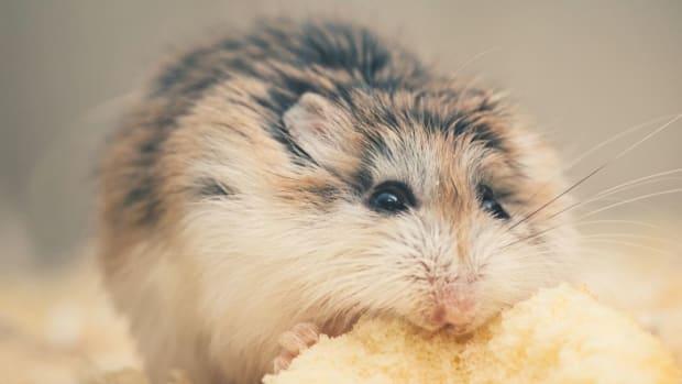 hamster-allergies