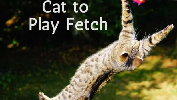 how-i-taught-my-cat-to-play-fetch