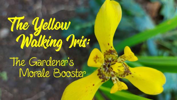 yellow-walking-iris-the-gardeners-morale-booster