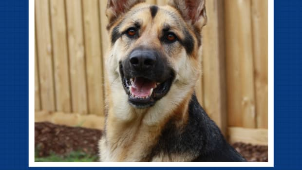 would-you-be-a-good-german-shepherd-owner
