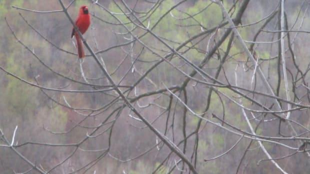peaceful-cardinal-calls