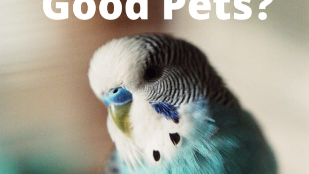 should-you-get-a-budgie