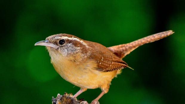 fill-your-garden-with-plants-which-feed-the-bugs-songbirds-like-to-eat