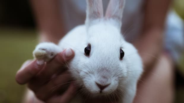 top-10-rabbit-breeds-as-pets