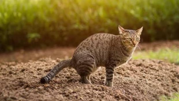 home-remedies-for-constipated-cat