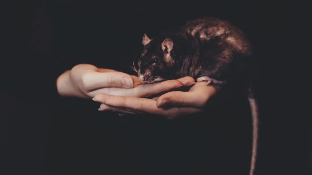 reasons-pet-rats-bite