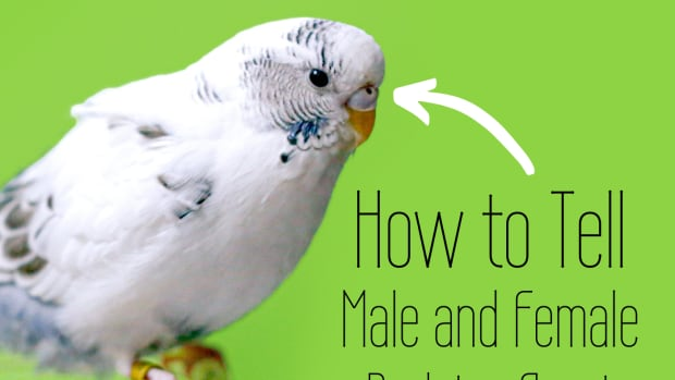is-my-budgie-a-boy-or-a-girl